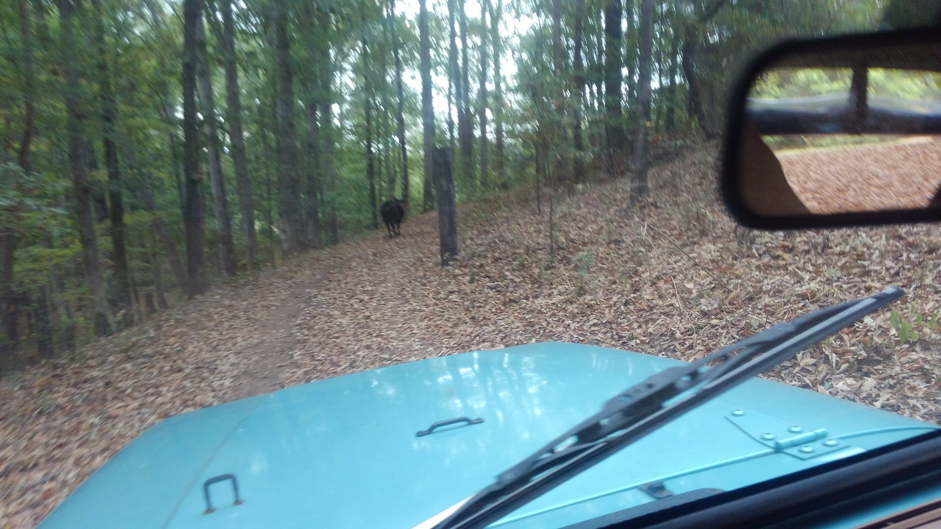Herding cows in an old Jeep