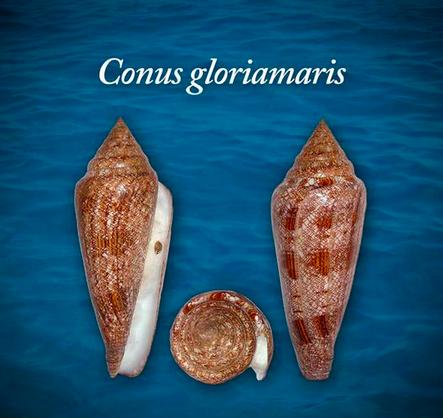 Conus gloriamarus