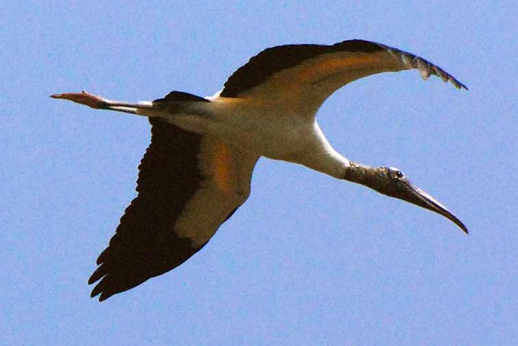 Wood Stork at Edisto